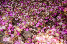 Dry Flowers Of Bougainvillea And Dry Leaf On The Wooden Floor