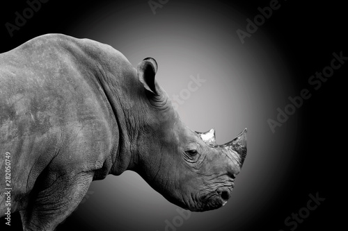 white rhino isolated on dark background - clipping paths.