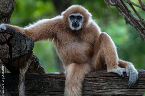Canvastavla white-handed gibbon sitting alone on the timber.