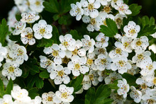 Flowers Of Hawthorn (Crataegus Monogyna)