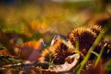 Herbst Kastanie Mit Mit Laub
