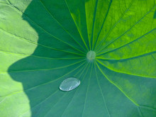 Lotus Leaf With A Big Water Drop