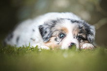 Border Collie, Puppy, Playing