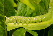 Tobacco Hornworm (Manduca Sexta)