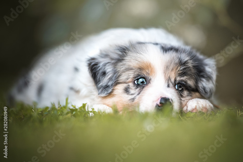 Fotografia, Obraz Border collie, puppy, playing
