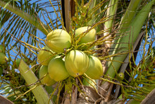 Bunch Of Fresh Young Coconuts ...