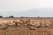 Desert White Oryx