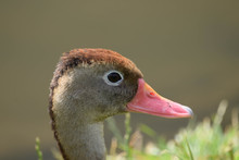 Close Up Of Ducks Head