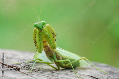 Fotografie, Obraz  grasshopper, mantis in Defensive Stance on tree stump.
