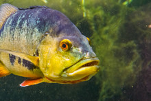 Closeup Of The Face Of A Butterfly Peacock Bass, Popular And Colorful Cichlid Fish Specie From The Rivers Of America