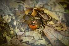 Box Turtle In Fall Leaves