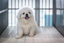 Close Up Of White Pekingese Puppy Sitting In The Cage At The Animal Hospital/veterinary Clinic Waiting For Recovery From Treatment And Find A Good Home.