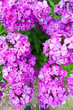 canvas print picture - Beautiful spring phlox purple flowers in the garden close up