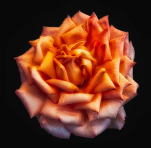 Surrealistic Isolated Orange Rose Blossom, Black Background,detailed Texture,vintage Painting Style
