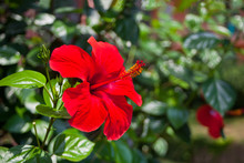 Large Flower Of Red Hibiscus H...