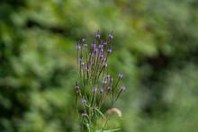 Purple Wild Growing Verbena Ha...
