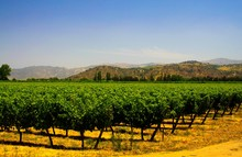 View On Green Vineyard Contrasting With Yellow Orange Color Ground And Hills Against Blue Sky Background In Valley - Central Chile