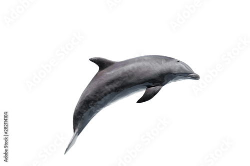 grey bottlenose dolphin isolated on white Canvas Print
