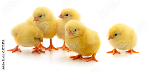 Five yellow chickens. Fototapet