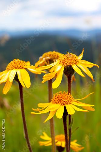 Closeup photo of Arnica flowers (Arnica montana) against mountains ridges Wallpaper Mural
