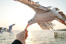 Seagull In Flight Feeding By One