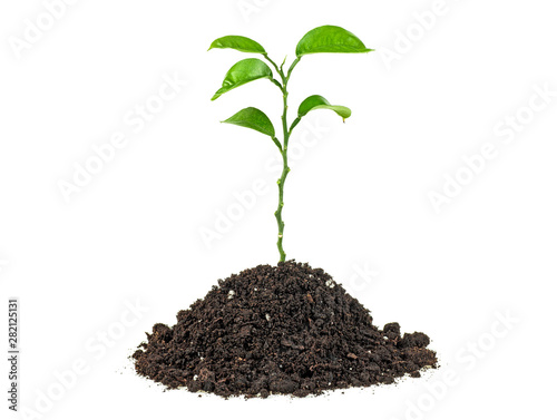 Poster Vegetal Green sprout growing isolated on a white background. Citrus plant.