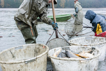 Commercial Fishermen Getting Carp Out Of The Water