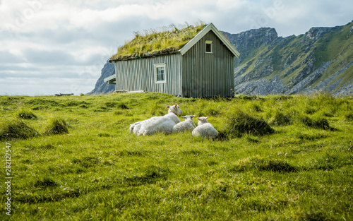 Fotografia Sheeps in meadow on green grass in background typical Norwegian house