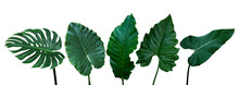 Tropical Leaves Set Isolated On White Background With Clipping Path, Green Leaves Of Monstera, Alocasia, Anthurium, And Philodendrons The Exotic Foliage Plants.