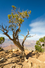 Old Twisted Juniper Tree At Grand Canyon