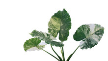 Heart Shaped Variegated Leaves Of Elephant Ears Or Variegated Alocasia (Alocasia Macrorrhiza Variegata), Rare Tropical Foliage Plant Isolated On White Background With Clipping Path.