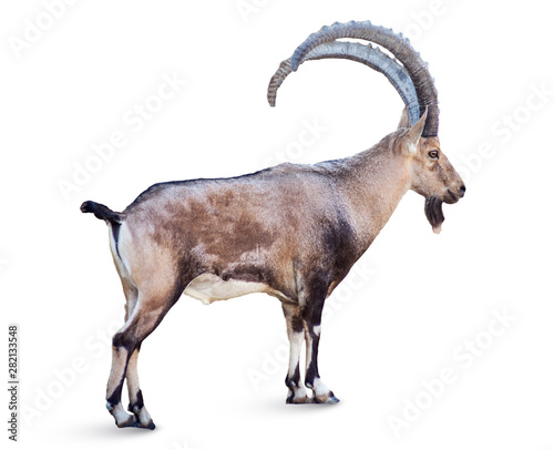 Alpine Ibex isolated on white background, Young alpine ibex male on the top of t Fototapeta