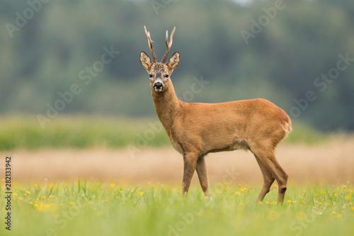 Obraz na plátně Roebuck - buck (Capreolus capreolus) Roe deer - goat