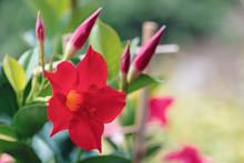 Flowering Red Mandevilla Rose Dipladenia