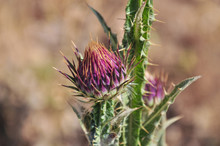 Close-up Of The Purple Flower Of Typical Countryside Plant Of Regions Of Malaga And Cadiz Andalucía, Spain. Musk Thistle - Carduus Santacreui (Devesa & Talavera) Devesa, Carduus Rivasgodayanus