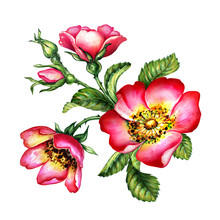 Watercolor Botanical Illustration, Red Dog Rose Flowers, Rosehip Arrangement Clip Art, Bouquet Isolated On White Background