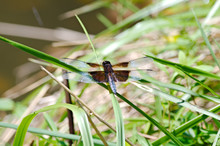 Widow Skimmer Dragonfly Restin...