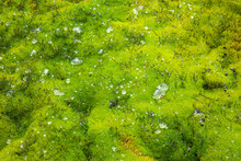 Drops Of Water And Dew On Green Moss After Rain.