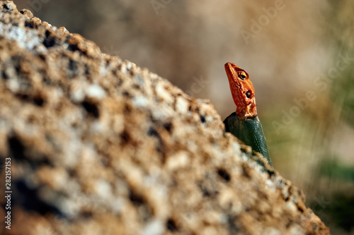 Male agama on a rock Wallpaper Mural