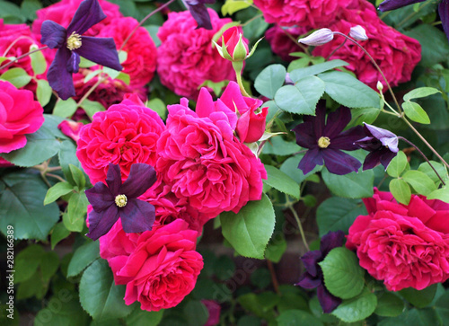 Poster Rose 美しいバラの咲いた庭、背景素材