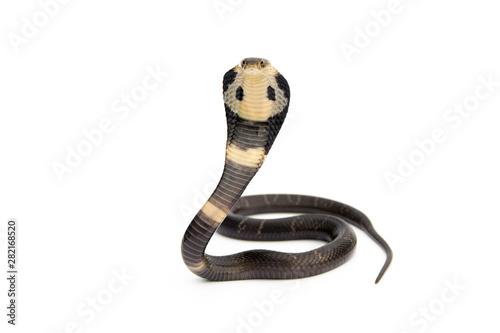 Valokuva  Little Siamese cobra Young Snake (Naja kaouthia) isolated on white background
