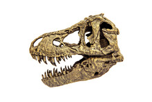 Fossil Bone Skull And Jaws Of Tyrannosaurus Rex ( T-rex ). Isolated On White Background.