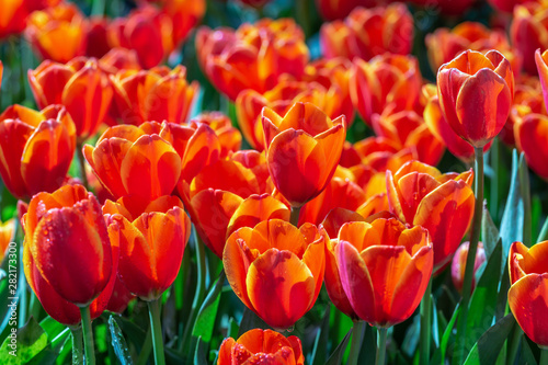 Foto auf AluDibond Rot kubanischen Tulip flower and green leaf background in tulip field at winter or spring day for postcard beauty decoration and agriculture design.