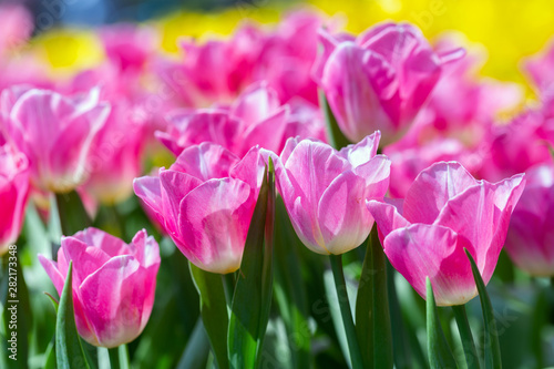Poster Rose Tulip flower and green leaf background in tulip field at winter or spring day for postcard beauty decoration and agriculture design.