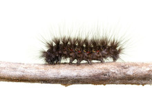 Image Of Hairy Caterpillar On A Tree Branch On White Background.. Insect Animal