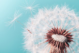 Fototapeta Dmuchawce - Beautiful dandelion flower with flying feathers on turquoise background. Macro shot.