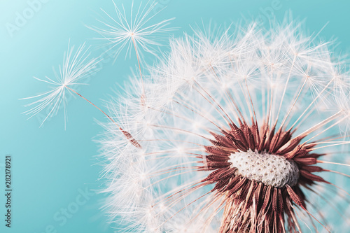 Beautiful dandelion flower with flying feathers on turquoise background. Macro shot.