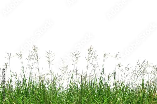 Fototapeta Grass isolated on white background obraz