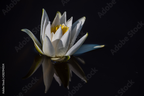 Autocollant pour porte Nénuphars The European white water lily Nymphaea alba