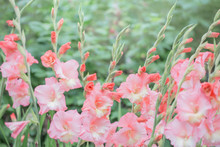Beautiful Pink Gladiolus Flowers Outdoor
